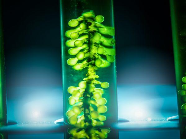 Test tube of microalgae being grown for DHA supplementation
